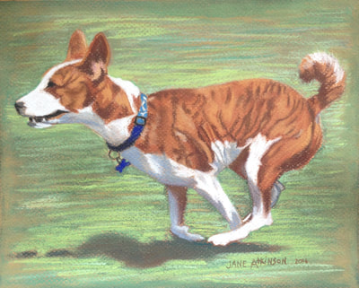 A Basinji dog running
